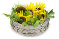 Sunflower lies in a basket Stock Photos