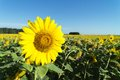 Sunflower lit by the sun. Royalty Free Stock Photo