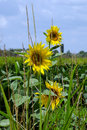 Sunflower look through the grass Royalty Free Stock Photo