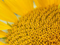 Sunflower macro Royalty Free Stock Photo