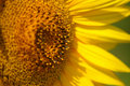 Sunflower macro Stock Images