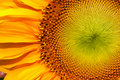 Sunflower macro closeup Stock Image