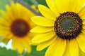 Sunflower macro ot selective focus on foreground Royalty Free Stock Photography
