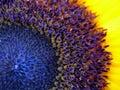 Sunflower macro shot Royalty Free Stock Photo