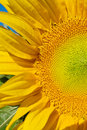 Sunflower Macro Texture Stock Photos