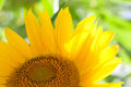 Sunflower macro view. Yellow petals flower and soft green background. Sunny day scene concept. Royalty Free Stock Photo