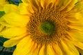 Sunflower Macro Royalty Free Stock Photo