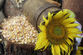 Sunflower and maize Stock Photo