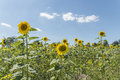 Sunflower on a meadow at a sunny summer day in front of blue sky and clouds Royalty Free Stock Photo