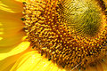 Sunflower middle and petals in detail Royalty Free Stock Photos