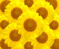 The sunflower nature Royalty Free Stock Photos