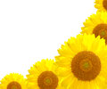 Sunflower nature on the summer background Royalty Free Stock Photography