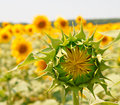 Sunflower is not Open Royalty Free Stock Photos