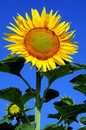 Sunflower over blue sky with clear summer background vertical Royalty Free Stock Image