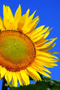 Sunflower over clear sky blue summer background Stock Images