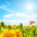 Sunflower panorama Stock Photography