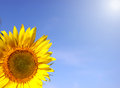 Sunflower, part on blue sky background Royalty Free Stock Photo