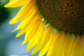 Sunflower particular detail of yellow in summer Royalty Free Stock Photography