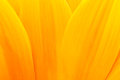 Sunflower petals Stock Photos