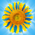 Sunflower in colors of Ukrainian flag Royalty Free Stock Photo