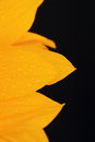 Sunflower petals with water drops on a black background Royalty Free Stock Photo