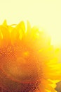 Sunflower photosynthesis backlighting detail macro shot cross color and flare effect Royalty Free Stock Images