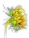 Sunflower plant drawn as vector imitation watercolor ink lines illustration farmers market sunflower oil concept positive growth Stock Photo