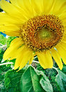 Sunflower Plant with large head and seeds Royalty Free Stock Images