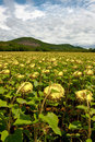 Sunflower Plantation Royalty Free Stock Photography