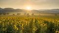 Sunflower plantation at sunrise Royalty Free Stock Photo