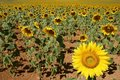 Sunflower plantation vibrant yellow flowers Royalty Free Stock Photography