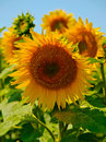 Sunflower with pollen on its leaves Stock Image
