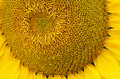 Sunflower pollen pattern bottom view close up Stock Photography