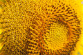 Sunflower pollen pattern close up Royalty Free Stock Photography