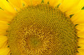 Sunflower pollen pattern top view clouse up Stock Photo