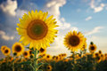 Sunflower portrait composition of nature Stock Image