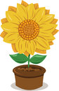 Sunflower in a Pot Royalty Free Stock Images