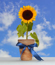 Sunflower in the pot with ribbon Stock Image