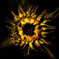 sunflower in profile with black background Royalty Free Stock Photo
