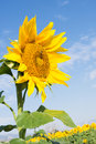 Sunflower in Profile Royalty Free Stock Photo