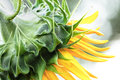 Sunflower Profile Royalty Free Stock Photo