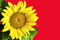 Sunflower on red background yellow Royalty Free Stock Photos