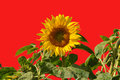 Sunflower on red single isolated background Royalty Free Stock Photography