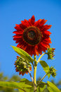 Sunflower red summer with deep blue sky Stock Photos