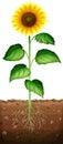Sunflower with roots underground