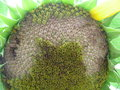 Sunflower s seed the will be riped Royalty Free Stock Photo