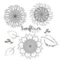 Sunflower seed and flower line vector drawing set. Hand drawn isolated illustration. Food ingredient vintage sketch. Great for oil Royalty Free Stock Photo