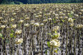 Sunflower with seeds dry sunflowers on the farm field in switzerland Royalty Free Stock Photo