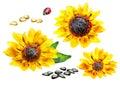 Sunflower set. Watercolor