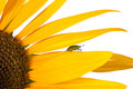 Sunflower with shield bug Stock Photo